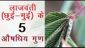 लाजवंती छुई मुई के 5 औषधिय गुण (hindi health tips)