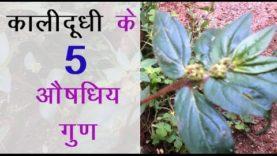 कालीदूधी के 5 औषधिय गुण (hindi health tips)